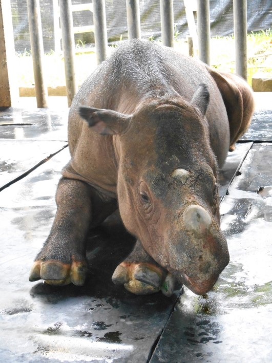 Rescued in 2014 in Danum Valley, Lahad Datu, Sabah, Iman was thought to be pregnant but her 'baby' was indeed one of a few tumours (uterine fibroids) she had.